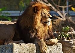 האריה המחליק