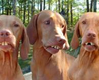 שלישיית כלבים