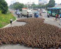 פקקי תנועה של ברווזים
