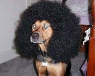 כלב אפרו