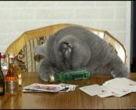 חתול מהמר