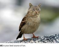 ציפור חתול