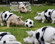 כדורגל חזירים