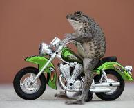 צפרדע אופנוען