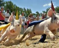 מירוץ חזירים
