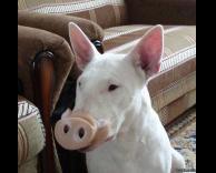 כלב חזיר