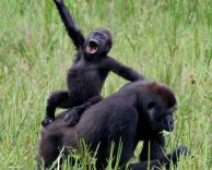 שתי קופים