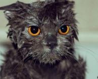 חתול רטוב