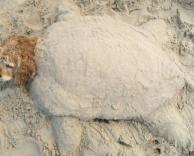 צב ים כלבי