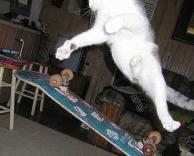 חתול סקייטר