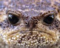 צפרדע עצבני