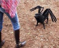 כלב עכביש