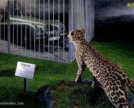 יגואר בגן חיות