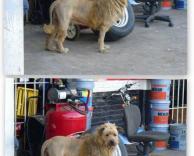 כלב או אריה?
