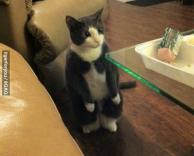 חתול שיודע ללכת