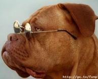 כלב מדגמן למשקפיים