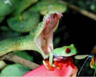 נחש אוכל צפרדע מסכנה!