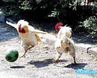 כדורגל תרנגולים