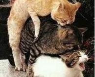 ערמת חתולים