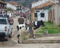 רכיבה על פרה