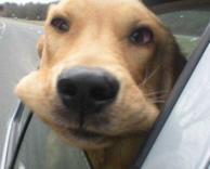 כלב מתאוורר