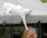 חתול שכזה
