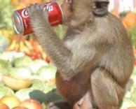 קוף שותה קולה