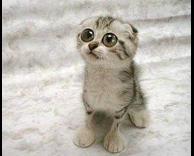 חתול תמים