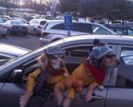 כלבים מוזרים מציצים מהאוטו