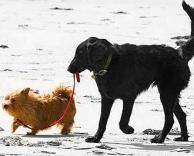 זוג כלבים