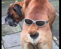 כלב בוקסר תחת