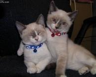 חתולים מאוהבים
