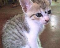 חתול הודי