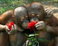 קופים מאוהבים