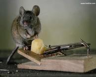 עכבר אמיץ במיוחד