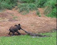 הפיל נתפס