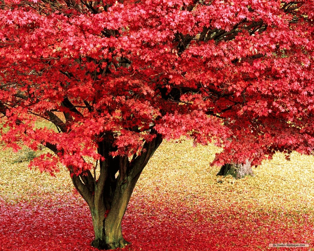 עץ אדום נאה