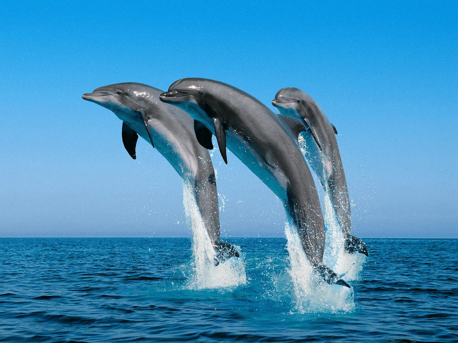 דולפינים קופצים מהמים
