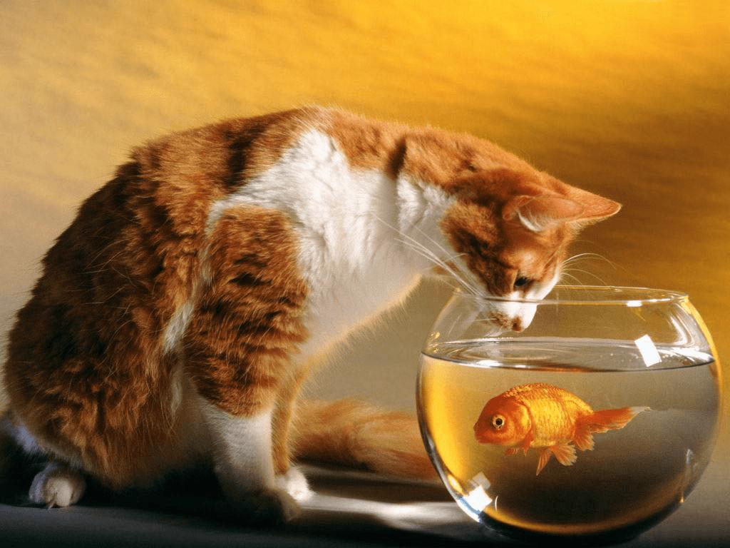 החתול והדג