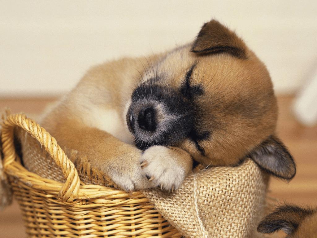 כלב מנמנם
